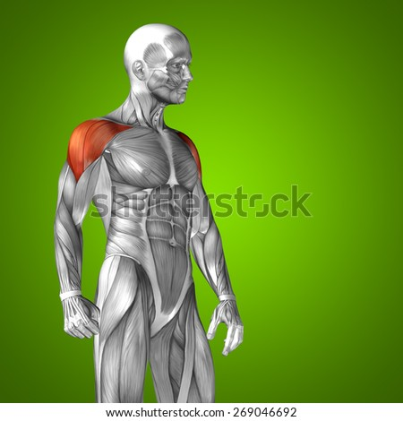 Conceptual 3D chest human anatomy or anatomical and muscle isolated on green gradient background, metaphor to body, tendon, spine, fit, abs, strong, biological, gym, fitness, skinless, health medical - stock photo