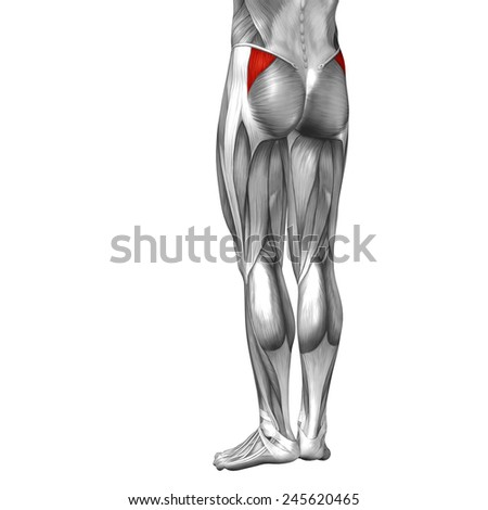 Conceptual 3 D Gluteus Medius Minimus Anatomical Stock Illustration ...