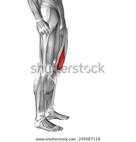 Conceptual 3 D Vastus Medialis Human Upper Stock Illustration ...