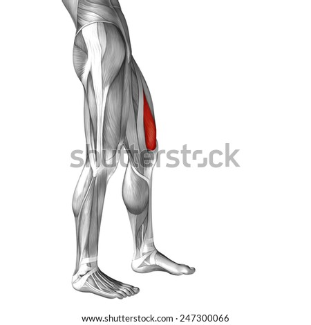 Vastus lateralis Stock Photos, Images, & Pictures ...