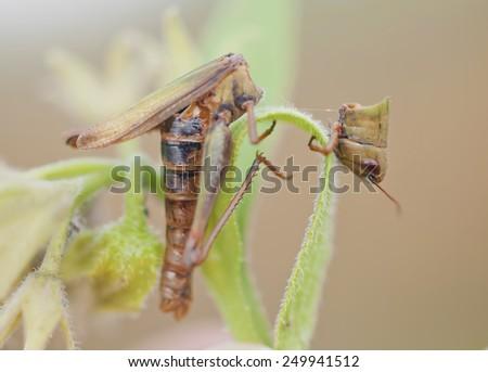 Conch dead grasshopper broken in half - stock photo