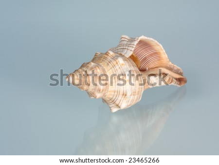 Conch sea shell on a blue background