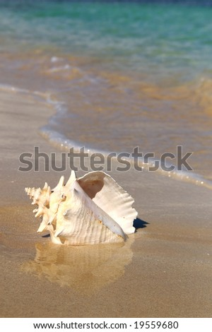conch shell on a beach - stock photo