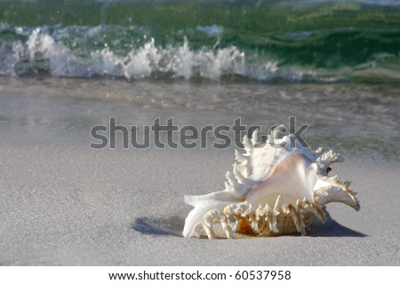 Conch Shell on Gulf of Mexico Beach - stock photo