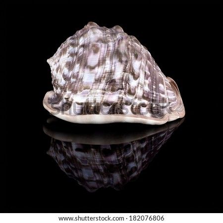 Conch shell with reflection isolated on black - stock photo