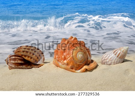 Conch shells on beach - stock photo