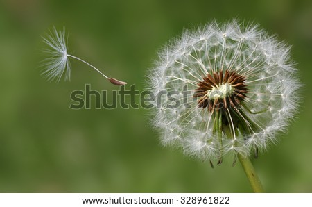 Condolence or sympathy design with dandelion flower and flying seed - stock photo