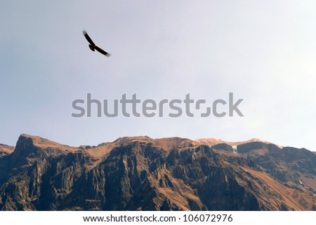 Condor and canyon at Colca Canyon, Peru - stock photo