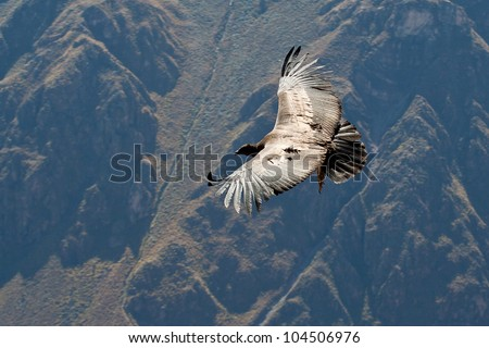 Condor flying above Colca canyon - stock photo