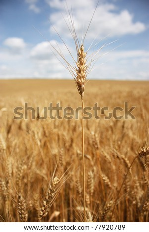 Cone of wheat against a wheaten field. On a background the dark blue sky and clouds.
