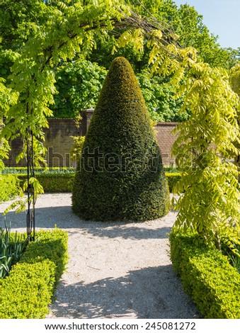 Cone shaped buxus tree - stock photo