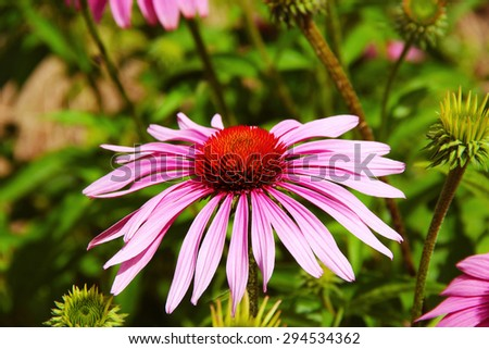 Coneflower with green background - stock photo