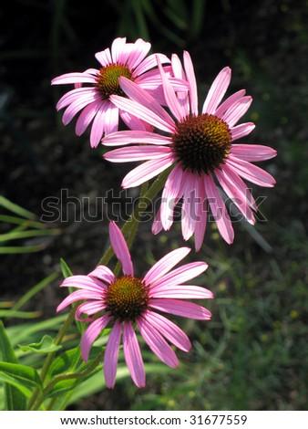 Coneflowers - stock photo