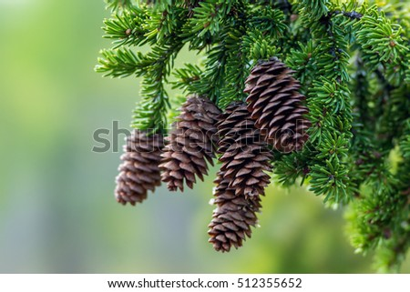 Cones of larch