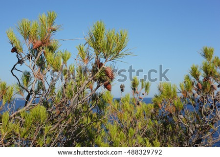 cones of the pine-tree over the blue sky background