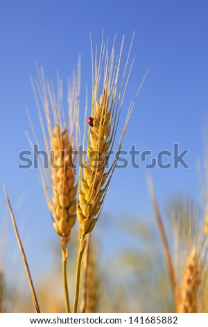 Cones of wheat ripen under the summer sun against the blue sky - stock photo