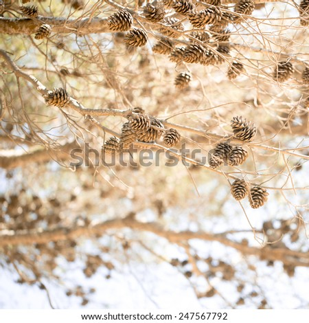 Cones on a tree - stock photo