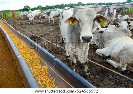 confined cattle