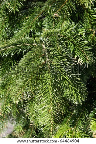 conifer branch - stock photo