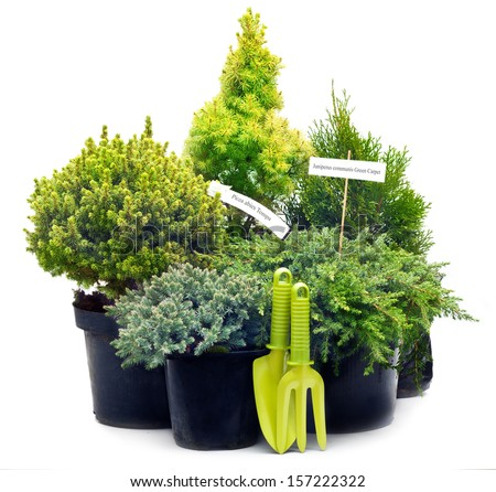 Conifer sapling trees in pots isolated on white. - stock photo