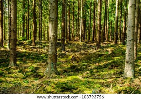 Conifer tree trunks in forest - stock photo