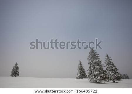 conifer trees in winter in black forest  - stock photo