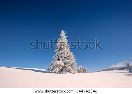 conifer trees in winter in Black Forest, Germany
