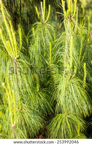 Coniferous branches with young shoots in spring. - stock photo