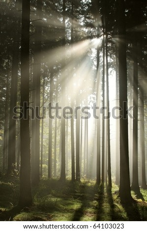 Coniferous forest backlit by the morning sun on a foggy autumn day. - stock photo
