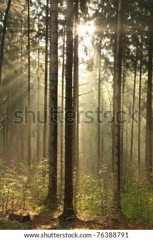 Coniferous forest backlit by the morning sun on a foggy spring day. - stock photo