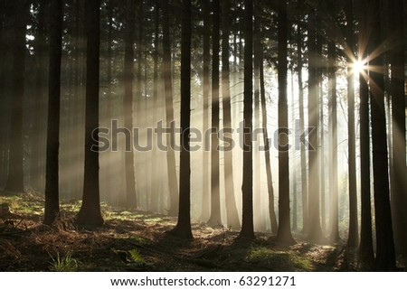 Coniferous forest backlit by the rising sun on a misty October's day. - stock photo