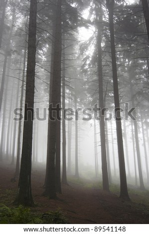coniferous forest early in the morning - early morning fog - stock photo