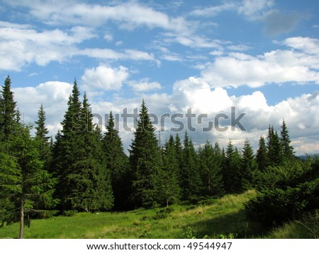 coniferous forest in Carpathian mountains - stock photo