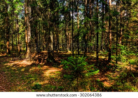 Coniferous forest in central Russia on summer day.