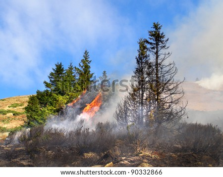 Coniferous forest in fire - stock photo