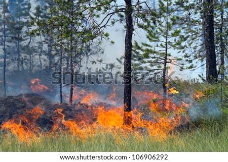 Coniferous forest in fire, Russia, Siberia - stock photo