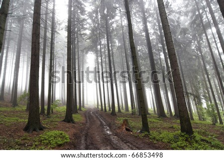coniferous forest in the early morning - stock photo