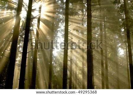 Coniferous forest with sunlight passing between the trees. - stock photo