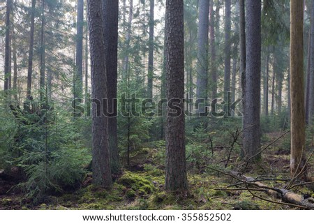 Coniferous stand of Bialowieza Forest in morning mist with pine and spruce,Bialowieza Forest,Poland,Europe - stock photo