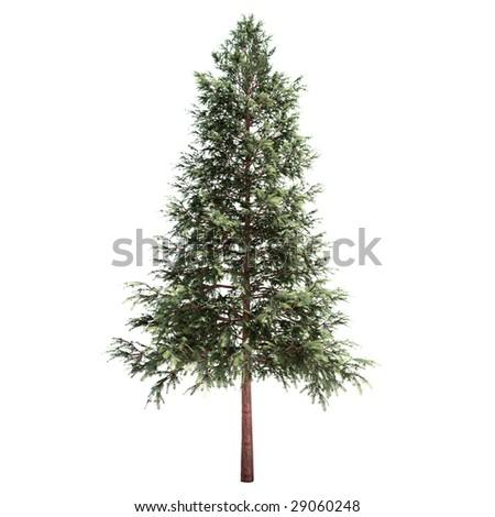 coniferous tree isolated - stock photo