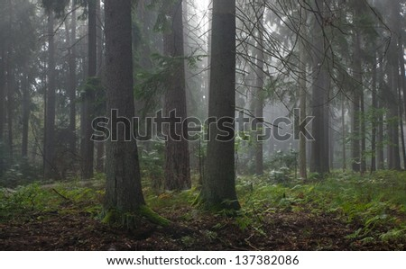 Coniferous trees against light of misty sunrise morning - stock photo