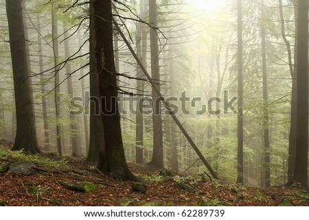 Coniferous trees in the misty early autumn forest on the mountain slope in a nature reserve. - stock photo