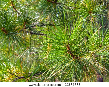 Coniferous vegetation background - stock photo