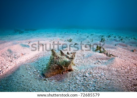 Conk shell in the sand on Turtle reef off of St. Martin. - stock photo