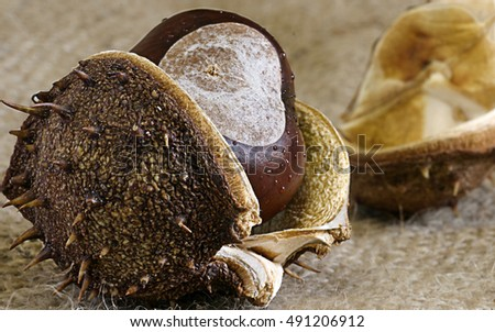 Conker with shell