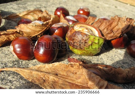 Conkers from a Chestnut tree - stock photo