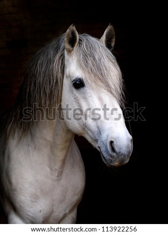 Connemara Stallion against black background - stock photo