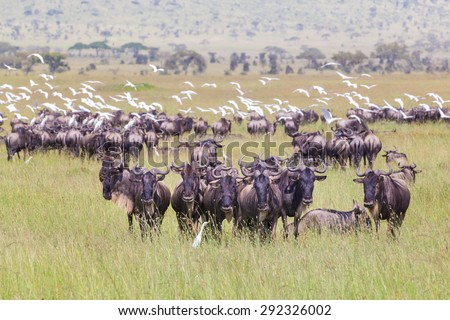 Connochaetes. Big herd of Wildebeests grazing in Serengeti National Park in Tanzania, East Africa. - stock photo