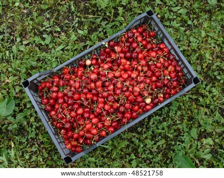 Container of fresh red cherries