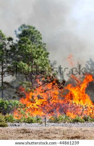 Controlled brush / forest burn in Central Florida. Image shows flames consuming brush and just beginning to burn a pine as white smoke billows in the background. - stock photo